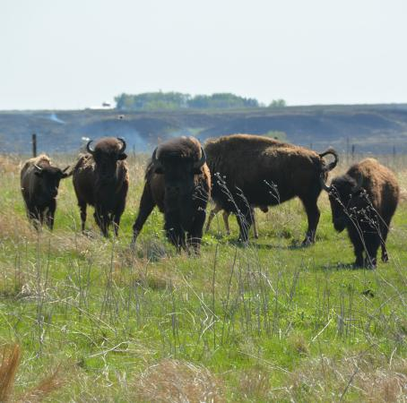 Peterson, IA: Our Bison