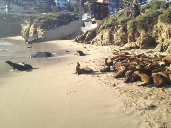La Jolla Cove with sea lions - right across the street from the hotel!