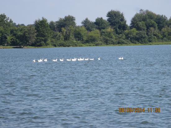 Kendallville, IN: More ducks swimming