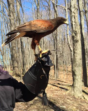 Earlville, Estado de Nueva York: Macchu the Harris Hawk, he flies quickly and gracefully through the trees