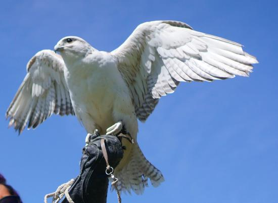 Earlville, Estado de Nueva York: Ravi the Saker Falcon-wings were out in this one!