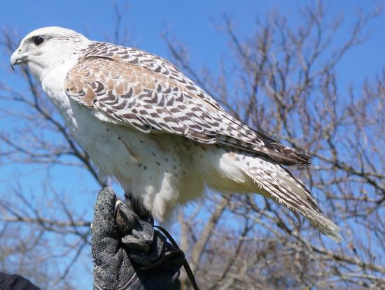 Earlville, Estado de Nueva York: Ravi the Saker Falcon