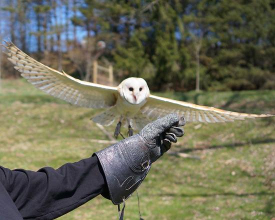 Earlville, NY: Oliver the Barn Owl