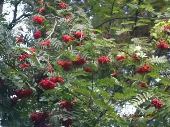 beautiful berry trees on the hill climb.  picture of queenstown, Beautiful flower