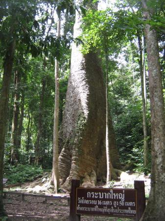 Tak, Thailand: ต้นกระบากใหญ่ วัดโดยรอบได้ 16 เมตร สูง 50 เมตร