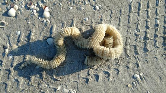 Tarpon Bay Beach Egg Casing For Lightning Whelk