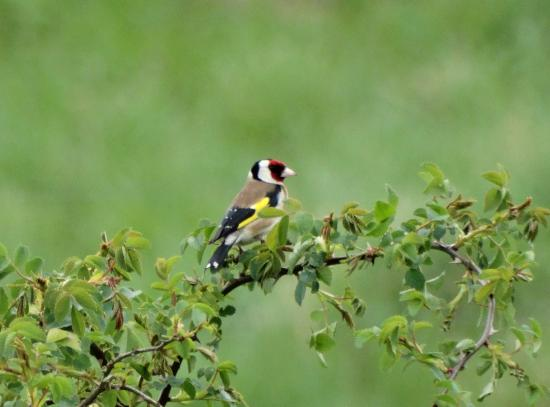 Purfleet, UK: Goldfinch at Rainham RSPB