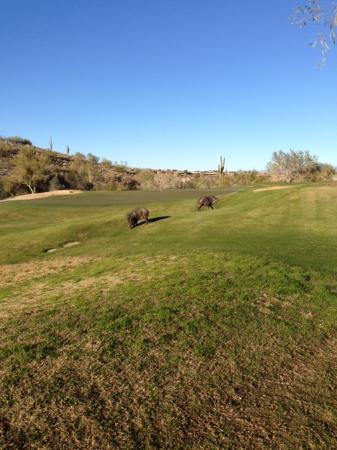 SunRidge Canyon Golf Club: Typical Sun Ridge wildlife. In my ten years I have seen coyotes, bobcats, mule deer. mountain li