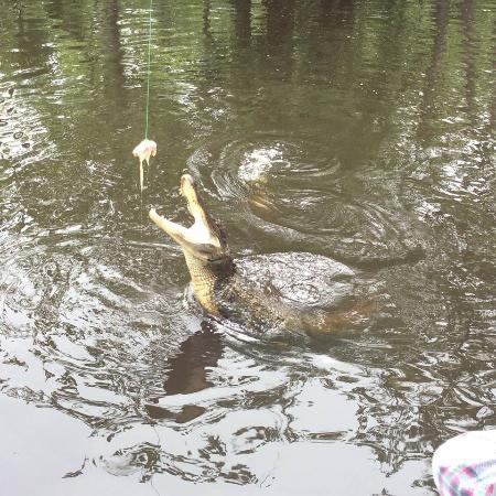 LaPlace, LA: Leaping gators