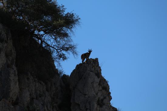 Almogia, إسبانيا: Cabra