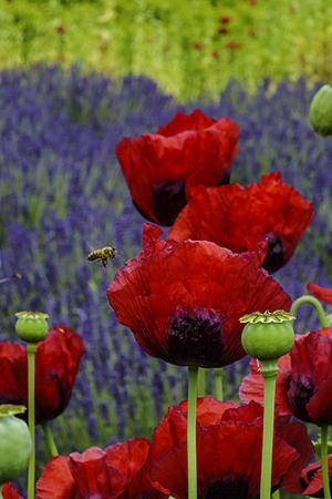 เซแกง, วอชิงตัน: poppies at Purple Haze Lavender Farm. Don't worry the honey bees will not sting unless you attra