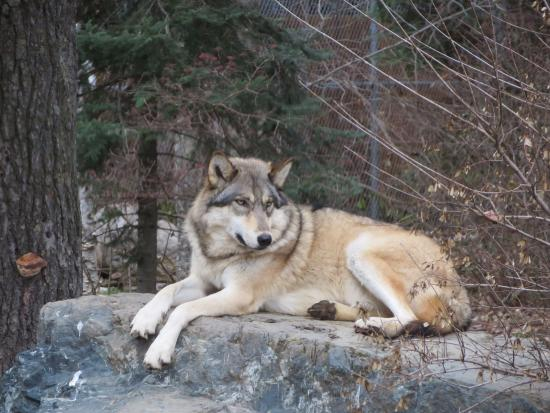 Ely, MN: Boltz, one of the exhibit wolves, 3 years old.