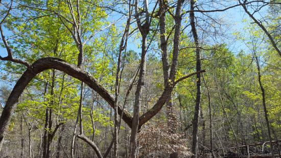 Albemarle, Северная Каролина: Crooked Tree