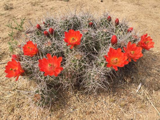 Twentynine Palms, Kalifornia: Mojave mound cactus