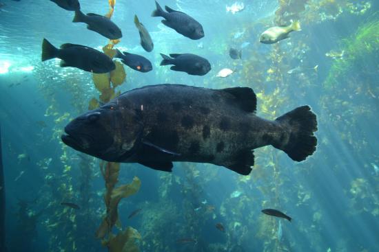Big fish picture of monterey bay aquarium monterey for California freshwater fish