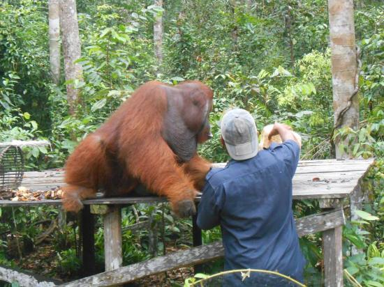 Central Kalimantan, Indonesien: Feeding the orang utan
