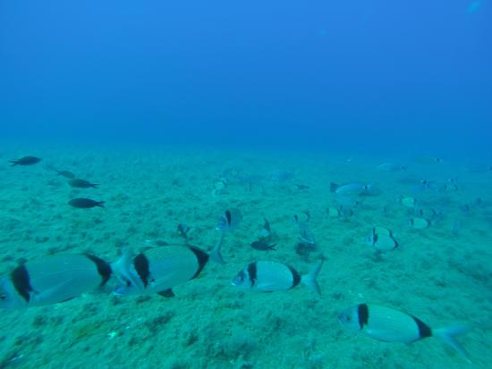 A Shoaling Of Common Two Banded Seabream