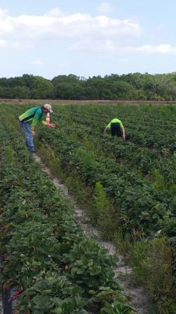 Bradenton, FL: Strawberry fields