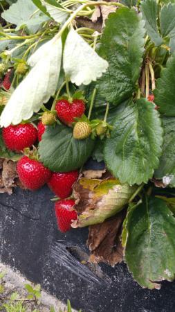 Bradenton, FL: strawberry plant in ground