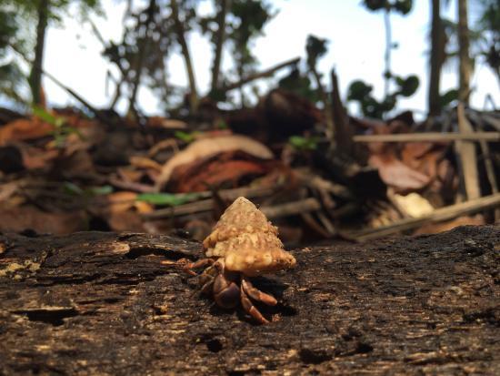 Gandoca - Manzanillo Wildlife Refuge: Pequeño cangrejo ermitaño. Uno de los tantos habitantes de la zona.
