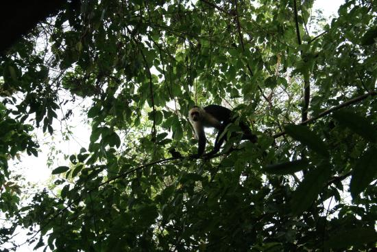 Palma Quemada, Costa Rica: One of the capuchin monkey visitors just outside the teepees!