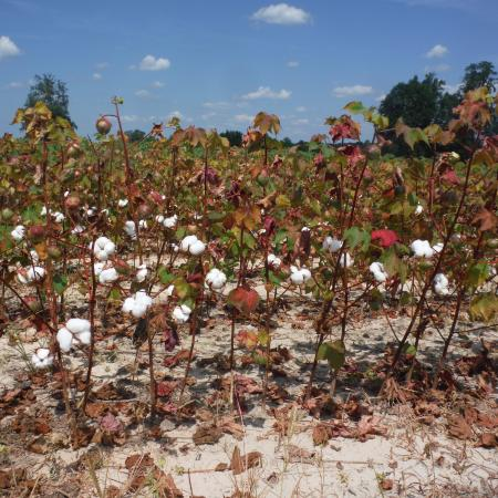 Aug 28 2015 Cotton Fields East of Roanoke Rapids, North Caroilna
