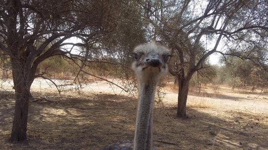 La Petite Cote, Senegal: bonjour mme l'autruche