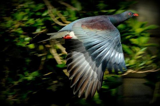 Arthurs Bay, Neuseeland: Keruru In Flight