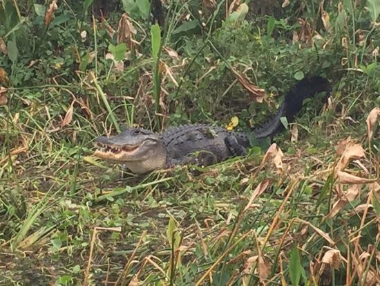 Lake Panasoffkee, FL: Alligators at TJ'S