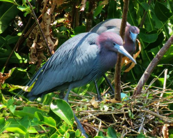 Wakodahatchee Wetlands: Beautiful birds everywhere.
