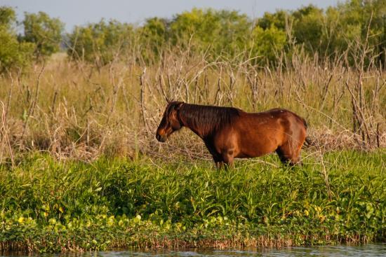 Micanopy, Флорида: Roaming Florida Cracker Horses