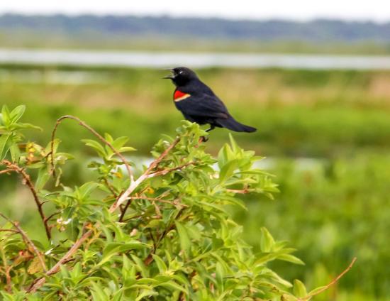 Micanopy, Флорида: Red-Winged Black Bird