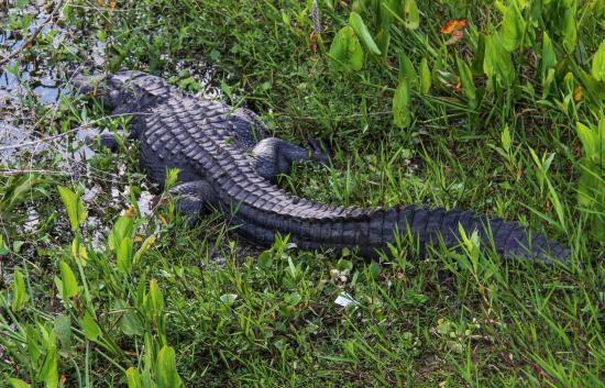 Micanopy, Флорида: He's a big one!