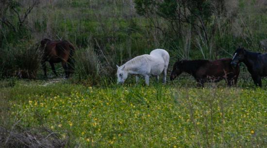 Micanopy, Флорида: A group of Florida Cracker Horses