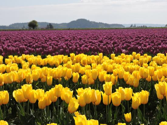tulip fields picture of skagit valley tulip festival mount vernon rh tripadvisor com