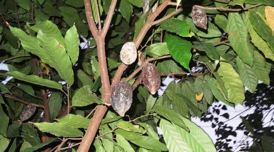 Balamban, Filipinas: hier Kakao, auch Jackfrucht, Kaffee, Bananen, Mango, Papaya usw. im Garten