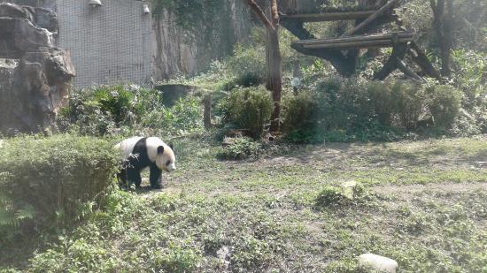 panda1 - Picture of Taipei Zoo, Taipei - TripAdvisor