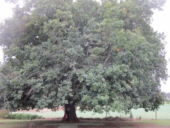 Seville, Australia: The huge oak tree - about 150 years old
