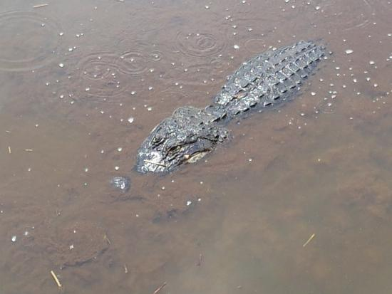 Wakodahatchee Wetlands: Alligator seen from the boardwalk