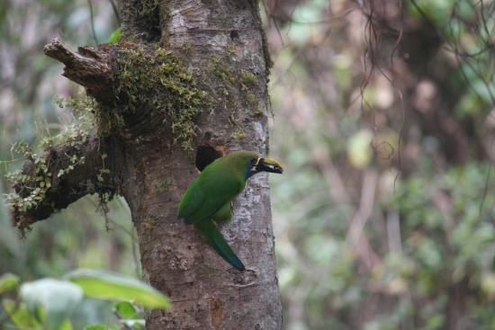 San Gerardo de Dota, Κόστα Ρίκα: Vogelbobachtung im Nebelwald Emerald Tucan