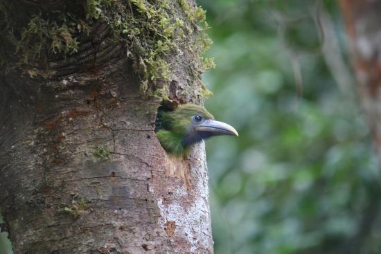 San Gerardo de Dota, Κόστα Ρίκα: Vogelbeobachtung im Nebelwald Emerald Tucan Baby