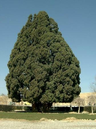 ‪Cypress of Abarkuh‬