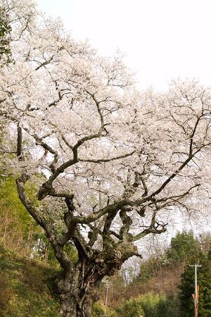 Momozen Cherry Blossom