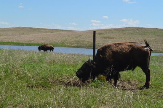 Oklahoma: Bison with an itch