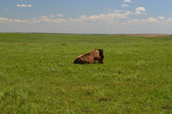 Oklahoma: Bison and a siesta
