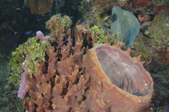 French Harbour, Honduras: Giant barrel sponges are abondant on the Roatan reef