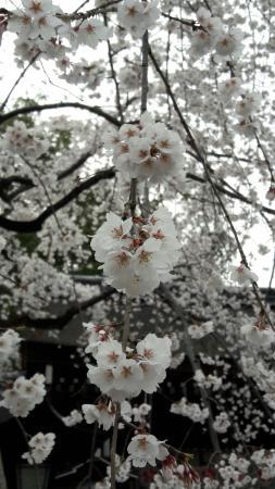 ولاية كيوتو, اليابان: 平野神社~櫻花😄