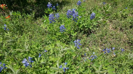 Meridian, เท็กซัส: Bluebonnets and other flowers in bloom during April visit.