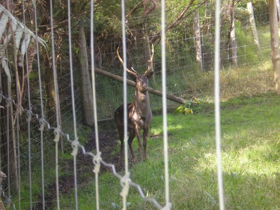 Whitianga, نيوزيلندا: Mighty stag