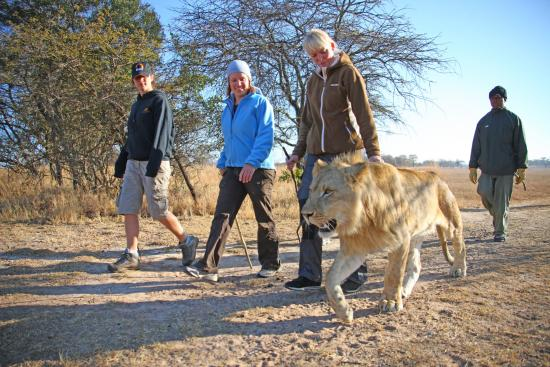 Lion Encounter Zimbabwe
